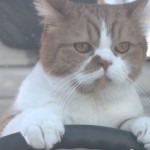 YモバイルCMで運転する猫の種類&名前は?気だるさ全開でブレイク中の「ふてネコ」の正体