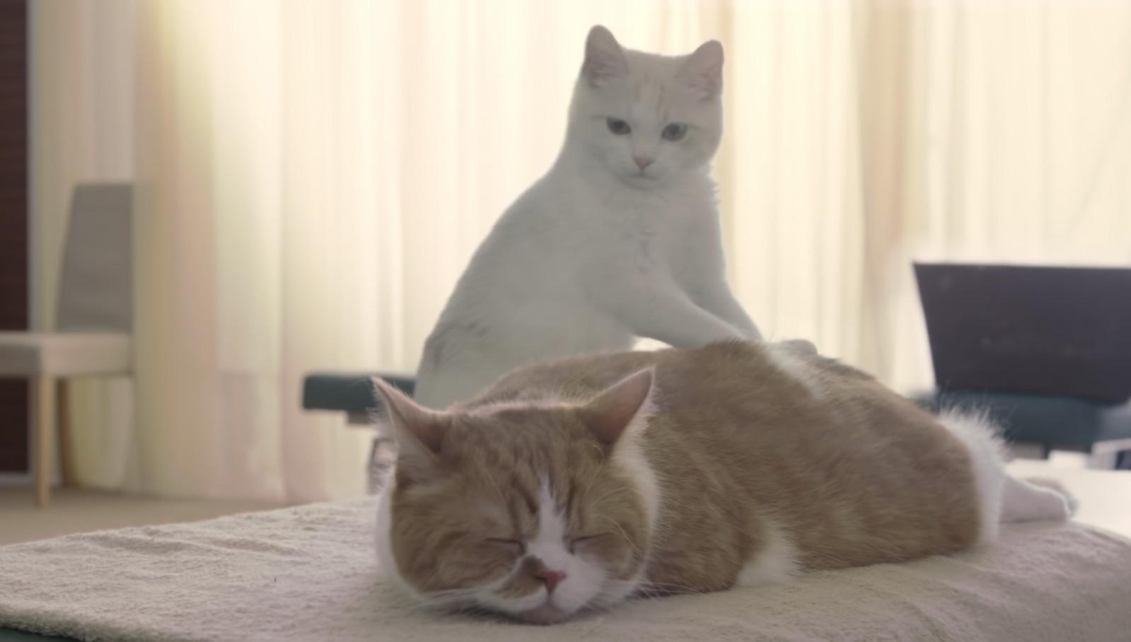 YモバイルCMでマッサージをする白猫の正体「あ〜そこそこ♪」