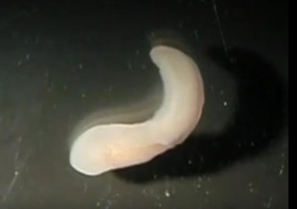 珍渦虫の動画がキモすぎる…謎の生物の正体がついに判明