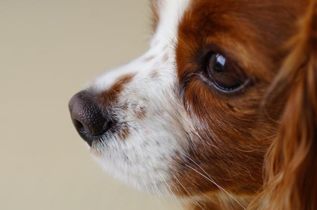 犬の白内障の治療法は?手術しないという選択肢は可能なのか